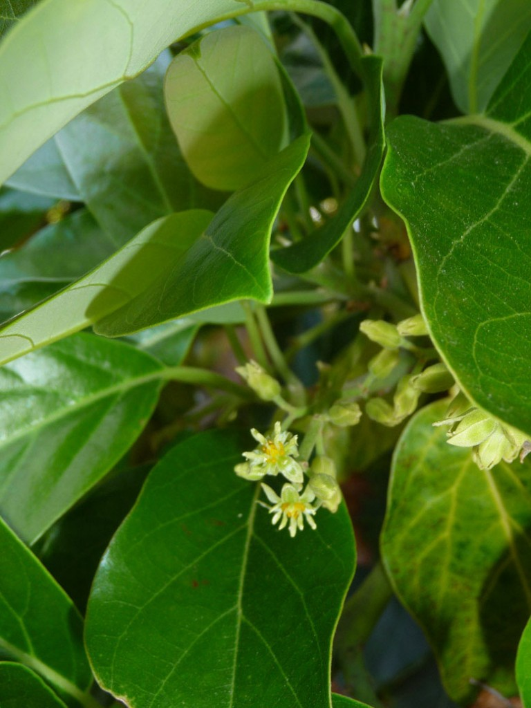 avocado blossom