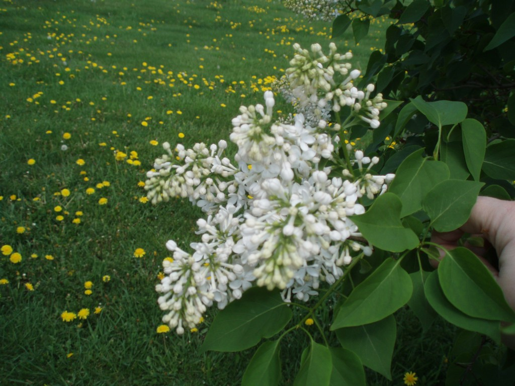 white lilacs