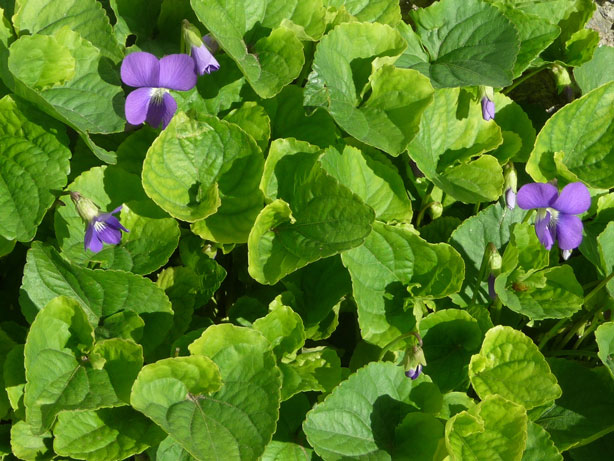 purple violets