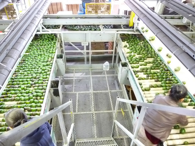 sorting avocados