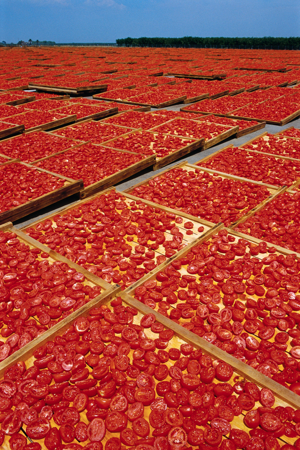 drying tomatoes at Mooney Farms