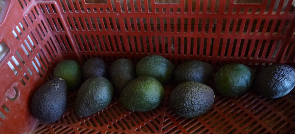 unripe avocados
