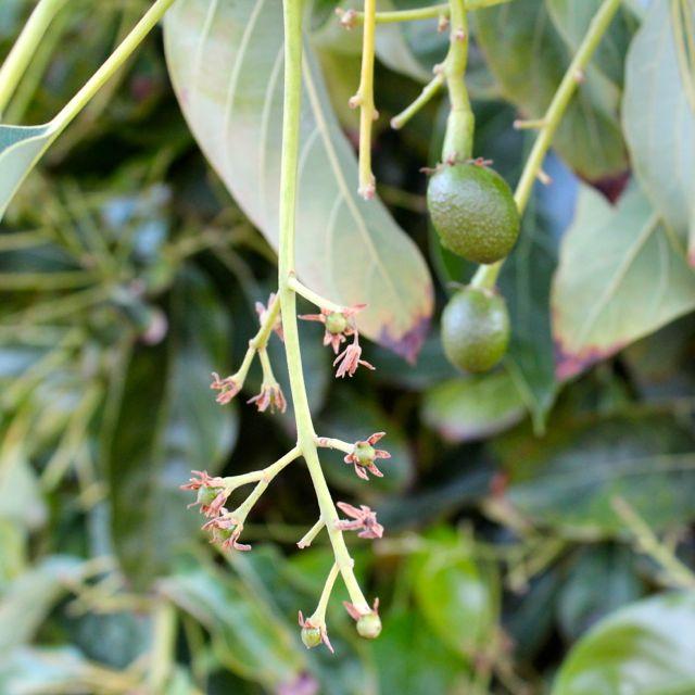 how to make avocado tree flower